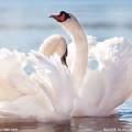 The Swan 天鹅-【法】圣桑 Violin&Piano Ver.